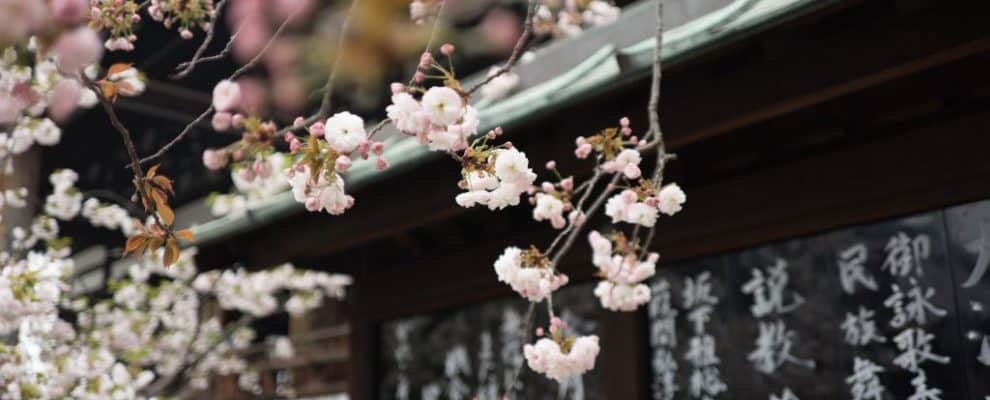 cherry blossoms in front of a Japanese shrine