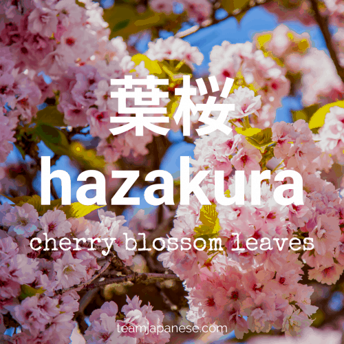 hazakura - new green cherry blossom leaves. More essential Japanese words for spring at teamjapanese.com!