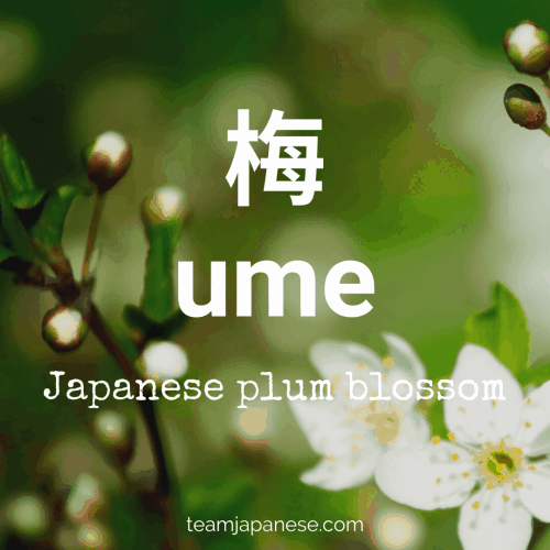 ume - plum. More Japanese spring vocabulary words at teamjapanese.com!
