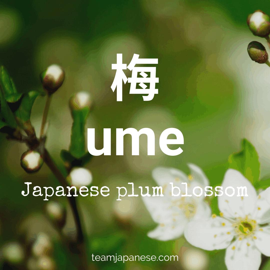 ume Japanese vocabulary spring word - Team Japanese